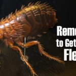 Removing fleas from our home