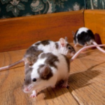 How to get rid of mice from home